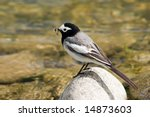 Wagtail With Mosquito In Beak...