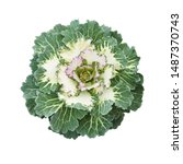 Ornamental Kale Isolated On...