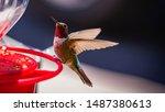 Male Anna\'s Hummingbird Sittin...