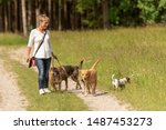 Stock photo dog sitter walks with many dogs on a leash dog walker with different dog breeds in the beautiful 1487453273