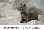 Ground Squirrel Living On The...