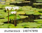 White Water Lily Blooming In...