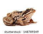 Rana Temporaria. Grass Frog On...