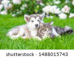 Stock photo alaskan malamute puppy hugging adult maine coon cat on green summer grass 1488015743