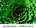 Rosette Of Decorative Cabbage...