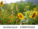 Sunflowers Field In The...