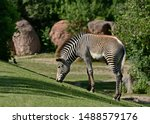 A Grevy's Zebra   Equus Gravy   ...