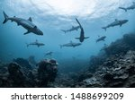 Schooling grey reef sharks ...