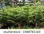 Norfolk Island Pine Or...