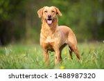 Pure Breed Labrador Retriever...