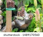 An Eastern Gray Squirrel ...