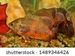 Pair Of Large Oscar Fish...