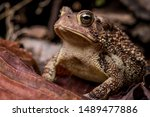 Eastern American Toad low perspective front left portrait sitting on dry leaves and twigs isolated with blurry background horizontal photo macro close-up detail, Bufo or anaxyrus americanus