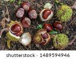 Aesculus Hippocastanum  Brown...