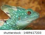 The Plumed Basilisk  Basiliscus ...