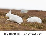 Stock photo white mountain hare lepus timidus in scottish highland these hare change their fur colour white 1489818719