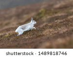 Stock photo white mountain hare lepus timidus in scottish highland these hare change their fur colour white 1489818746