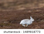 Stock photo white mountain hare lepus timidus in scottish highland these hare change their fur colour white 1489818773