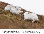 Stock photo white mountain hare lepus timidus in scottish highland these hare change their fur colour white 1489818779