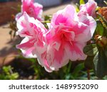 Stock photo a variegated multipetaled containing several petals pair of azalea rhododendron indicum flowers 1489952090