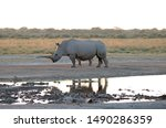 Adult Rhino Mother With Calf...