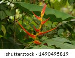 Heliconia Bihai Also Known As...