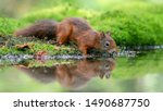 Cute And Beautiful Eurasian Re...