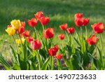 Red And Yellow Tulips On A...