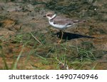 A Juvenile Little Ringed Plover ...
