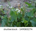 Small photo of Desert flower Diplotaxis acris