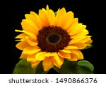 Single Sunflower Isolated On...