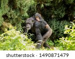 A Mother Chimpanzee Walking...
