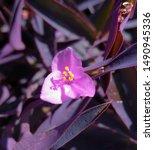 A Purple  Pink Wandering Jew ...