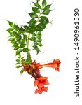 Small photo of macro closeup of a bright orange red scarlet flowers Campsis radicans grandiflora (trumpet creeper vine) climbing blooming liana plant isolated on white