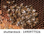Small photo of Bees dinking honey in alveolus