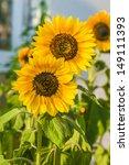Three Sunflowers On The Garden