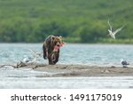 Brown Bear Running On The Sand...