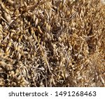 Small photo of Close-up of sheaves of grain cut with binder drying in stook