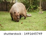 capybara on the meadow in zoo... | Shutterstock . vector #1491645749