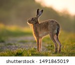 Stock photo backlit european brown hare stretching in the golden hour dawn sunshine 1491865019