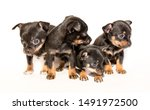 Stock photo dog funny beautiful toy terrier puppies isolated on white background cute pet friend many puppies 1491972500