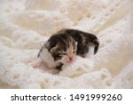 Stock photo newborn cute kittens scottish purebreed white and blue background 1491999260