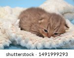 Stock photo newborn cute kittens scottish purebreed white and blue background 1491999293
