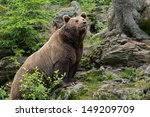 Brown Bear In The Bavarian...