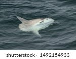 The ocean sunfish or common mola (Mola mola) swimming on sea surface. Sunfish in natural habitat. North Pacific ocean.