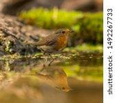 Bathing Little Robin In The...