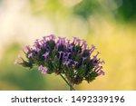 Purple Flower Bloom Verbena...
