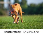 Stock photo  pit bull terrier 149243570
