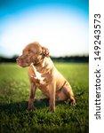 Stock photo  pit bull terrier 149243573