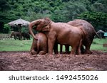 Elephants Taking Mud Bath At...